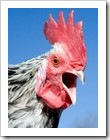 Jengger Ayam